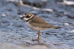 Pluvier semipalmé (pascalroussy) Tags: oiseau bird faune wildlife nature