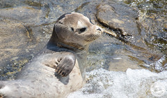 Seal Pup (Lauren Tucker Photography) Tags: lajolla mammal nature sandiego seal seallion wildlife canon slr camera markii 7d 18300mm sigma copyright ©laurentuckerphotography photography photographer photograph photo image pic picture allrightsreserved 2019 colour wild bird closeup summer usa us america unitedstates holiday travel