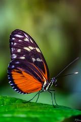 Tithorea Tarricina (pj lens) Tags: papillon règne animalia embranchement arthropoda classe insecta ordre lepidoptera famille papilionidae sousfamille papilioninae genre battus