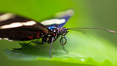 Heliconlus Sara (pj lens) Tags: papillon règne animalia embranchement arthropoda classe insecta ordre lepidoptera famille papilionidae sousfamille papilioninae genre battus