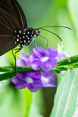 battus polydamas (pj lens) Tags: papillon règne animalia embranchement arthropoda classe insecta ordre lepidoptera famille papilionidae sousfamille papilioninae genre battus