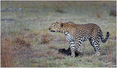 Sri Lankan Leopard (Panthera pardus kotiya) (dinukakavinda) Tags: sri lankan lanka leopard kotiya panthera pardus wild life cat big safari ceylone travel nature walk wilpattu yala animal mammal