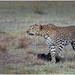 Sri Lankan Leopard (Panthera pardus kotiya)