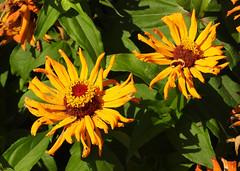 Gerbera daisies (carpingdiem) Tags: gerberadaisy flowers indianapolis fall 2019