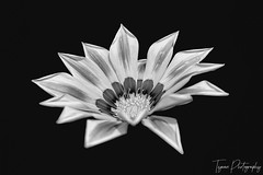 A View Of  Gazania Flower In Black And White Version On Black Back Ground (Love for Architecture) Tags: aroma autumn background beautiful beauty bed bloom blurbackground botanical botany bright bud centre closeup colorful cultivated daytime decorations details environment exotic flower flowermacro focus fragrant fresh freshnessflora garden green grow horticulture leaves nature orange outdoors plant pollengrain pretty pure radiant seasonal spring stems striped suburban tender tropical vegetation vibrant vivid newdelhi delhi india