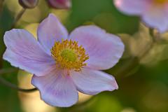 Anemone (pstenzel71) Tags: blumen natur pflanzen anemone herbstanemone anemonehupehensis darktable flower bokeh