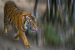 Sumatran Tiger (Moshe Ovadya) Tags: socal lazoo emount tiger sonyα7riii losangeles sumatrantiger sonysel100400gmfe100400mmf4556gmoss photoshop animals a7r a7riii alpha ilce7rm3 sel100400gm sony sonyalpha southerncalifornia e pantheratigrissumatrae supertelephoto telephoto zoo zoom california unitedstates