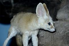 Fennec Fox - Vulpes zerda (HGHjim) Tags: fennec fox vulpes zerda fennecfox vulpeszerda