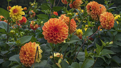 Dahlien Bild 2 (outbreak998) Tags: canon eos r rf 50mm f12 169 4k 3840x2160 adobergb fokusstapelung focusstacking deutschland hamburg blumen flower
