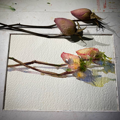 Day 1509. The #rose #painting for today. #watercolour #watercolourakolamble #sketching #stilllife #flower #art #fabrianoartistico #hotpress #paper #dailyproject (akolamble) Tags: rose painting watercolour watercolourakolamble sketching stilllife flower art fabrianoartistico hotpress paper dailyproject
