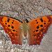 Question Mark - Polygonia interrogationis, Occoquan Bay National Wildlife Refuge, Woodbridge, Virginia