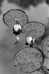 Bright White Water Lilies (Petri Karvonen) Tags: closeup lily lilies water plant plants reflections nature nymphaea alba lumme lumpeet luonto european finland summer flower flowers aquatic aqua analog film kodak trix 400tx pad pads minolta x700 md 85mm 852 blackwhite blackandwhite bw monochrome grain