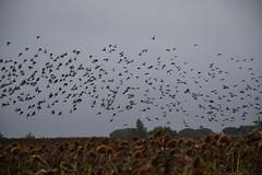 DSC_5343 (griecocathy) Tags: paysage oiseaux pigeons ciel champs tournesols blanc gris noir jaune vert