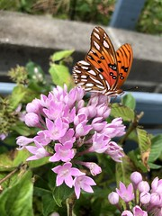 Butterfly on Pink Pentas (King Kong 911) Tags: orange black monarch pentas