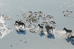 Flying with a helicopter over Makgadikgadi salt pan - Botswana (lotusblancphotography) Tags: africa afrique botswana makgadikgadi nature wildlife faune zebras zèbres animal saltpan shadows ombres safari
