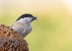 Mésange Nonnette / Marsh Tit / Poecile Palustris (PriscillaHernandez85) Tags: canon550d canon70200f4 france isère marshtit mésangenonnette oiseau poecilepalustris rhonealpes bird eos550d canon70200lisusmf4