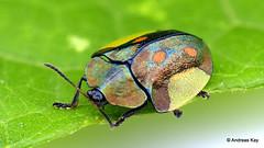 Tortoise Beetle, Cyrtonota serinus (In Memoriam: Ecuador Megadiverso) Tags: andreaskay beetle cassidinae chrysomelidae coleoptera cyrtonotaserinus ecuador flickr focusstack leafbeetle mesomphaliini tortoisebeetle