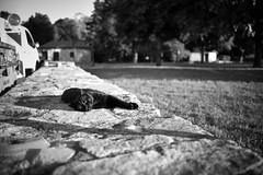 chill-out cat (Elmar Egner) Tags: quedlinburg chattenoire cat black monochrome monochrom leica summarit 35 popular influence