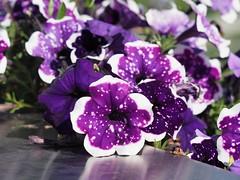 Petunien (1elf12) Tags: petunien flower blume blossom blüte buga bundesgartenschau heilbronn 2019 deutschland germany