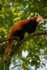 Red panda - Diergaarde Blijdorp (Rotterdam/NL) (About Pixels) Tags: 0626 2019 aboutpixels blijdorpzoo holland mnd06 nikond7200 nl nederland netherlands nikon rotterdam rotterdamzoo summerseason zomerseizoen zuidholland animal collecties dier fauna june juni nature natuur southholland diergaardeblijdorp