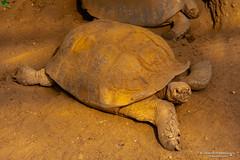 Galapagos giant tortoise - Diergaarde Blijdorp (Rotterdam/NL) (About Pixels) Tags: 0626 2019 aboutpixels blijdorpzoo holland mnd06 nikond7200 nl nederland netherlands nikon rotterdam rotterdamzoo summerseason testudines zomerseizoen zuidholland animal collecties dier dierentuin fauna june juni nature natuur reptiel reptile schildpad turtle zoo southholland diergaardeblijdorp