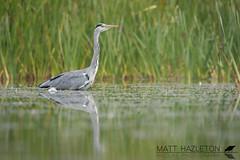 Grey heron (Matt Hazleton) Tags: greyheron ardeacinerea heron bird wildlife nature animal outdoor canon canoneos7dmk2 canon100400mm eos 7dmk2 100400mm matthazleton matthazphoto northamptonshire
