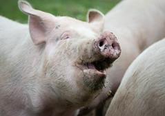 We are the Pigs (2) (bohelsted) Tags: grantoftegaard grantoftegård ballerup country farm food leicadg nocticron gm5 425mm pigs pig pederstrup