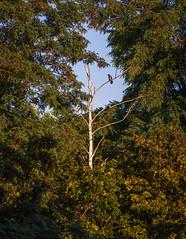 Inspector (Lensjoy) Tags: lensjoy hoodedcrow tree treetop framed leefless green outline smileonsaturday