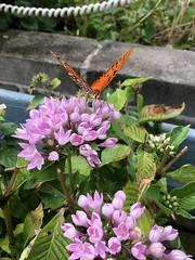 Butterfly on Pentas (King Kong 911) Tags: orange black monarch pentas