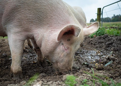 We are the Pigs (5) (bohelsted) Tags: grantoftegaard grantoftegård ballerup country farm em5markii food leicadg summilux leicadg15mm pigs pig pederstrup