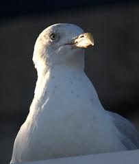 Herring Gull II (Dr Nigel) Tags: lymeregis dorset canon 60d england nature wildlife bird gull herringgull eos