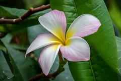 plumeria in Philbrook Gardens (Pejasar) Tags: plumeria philbrook artgallery gardens tulsa oklahoma flower bloom blossom