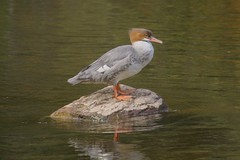 Tea Lake Dam Merg (S. J. Coates Images) Tags: algonquin algonquinpp autumn fall colours waterfoul merganser common