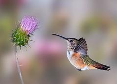 Go for It! (Patricia Ware) Tags: allenshummingbird backyard birdsinflight california canon manhattanbeach multipleflash selasphorussasin tripod ©2019patriciawareallrightsreserved specanimal