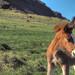 Icelandic Pony near Selfoss