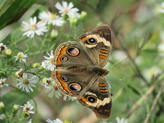 fresh new buckeye (Cheryl Dunlop Molin) Tags: junoniacoenia commonbuckeye buckeye butterfly insect frostaster aster flowerswithbutterflies pollination coth coth5 ngc npc