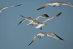 Laughing Gull (M. Coppola) Tags: florida pasco laughinggull leucophaeusatricilla howardbeach