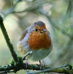 Reliant Robin (Andreadm66) Tags: nature fairburnings wildlife bird robin rspb