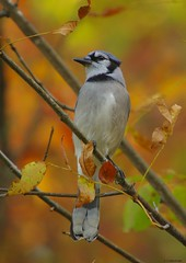 fall jay (S. J. Coates Images) Tags: bluejay lemoinepointconservationarea kingston colours fall autumn