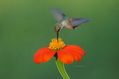 Hummingbird and Mexican Sunflower (Anton Shomali - Thank you for over 3 million views) Tags: female malebird red flowers colors sucking sucks nectar bill bird flickr birds photography beauty beautiful photo nature hummingbird mexican sunflower nikon coolpix p900 small tiny dynamos trochilidae green flower yellow seeds hungry food plant garden backyard closeup macro naturephotography