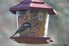 Black-capped Chickadee (Poecile atricapillus) (youngwarrior) Tags: salem oregon bird feeder chickadee blackcappedchickadee poecile atricapillus