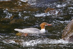 Up the rapids (S. J. Coates Images) Tags: algonquin algonquinpp autumn fall colours waterfoul merganser common