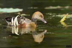 Plumed Whistling Duck (Dendrocygna eytoni) (Dave 2x) Tags: macquarieuniversity nsw sydney australia leastconcern duck dendrocygnaeytoni dendrocygna eytoni plumedwhistlingduck plumed whistling