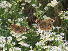 two buckeyes (Cheryl Dunlop Molin) Tags: junoniacoenia commonbuckeye buckeye butterfly insect frostaster aster flowerswithbutterflies pollination