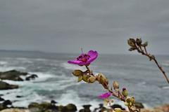 View (npitronelloc) Tags: landscapephotography flores flowers playa beach nikonistas nikond5300 nikonphotography nikon losmolles