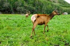 Williams Reindeer Farm, Alaska-9816 (kasiahalka) Tags: alaska usa unitedstates lake trail outdoor road sky clouds highway forest mountains water river church buildings town scenicview gakonalodge lodge glennhighway glennhighwayak1 farm williamsreindeerfarm reindeer