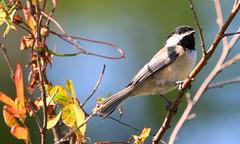 black-capped chickadee at Ludwig Prairie Preserve IA 653A3079 (naturalist@winneshiekwild.com) Tags: blackcapped chickadee ludwig prairie preserve winneshiek county iowa larry reis