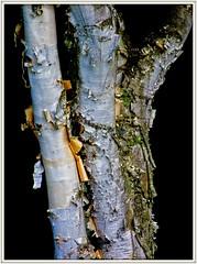 Organic Texture (Bob's Digital Eye 2) Tags: aug2019 bobsdigitaleye2 canon canonefs55250mmf456isstm closeup flicker flickr nature organictexture tree treebark wood woodsforests silverbirch