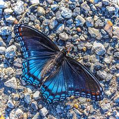 Red-spotted Purple Admiral Butterfly (jolynne_martinez) Tags: kansascity missouri unitedstates redspottedpurpleadmiral butterfly insect wings blue road asphalt pebbles nikkor nikon nikond60 limenitisarthemis