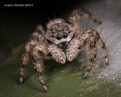 Tan Jumping Spider 2 (strjustin) Tags: tanjumpingspider arachnid spider insect eyes macro focusstacking beautiful bug